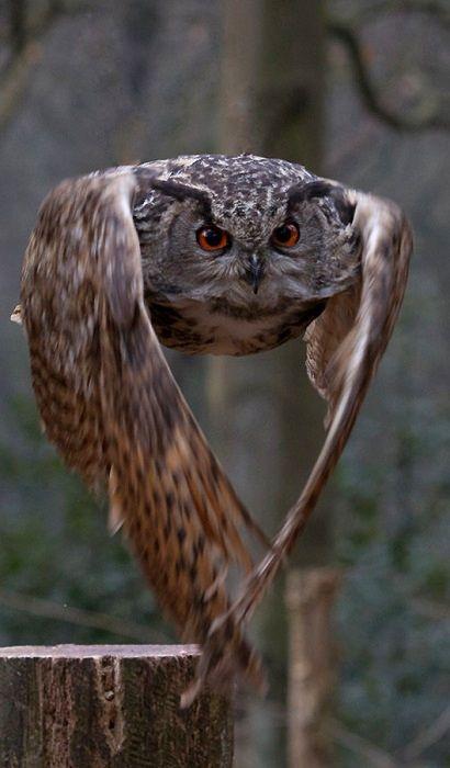 Owl in flight ~ By Thorsten Halbig