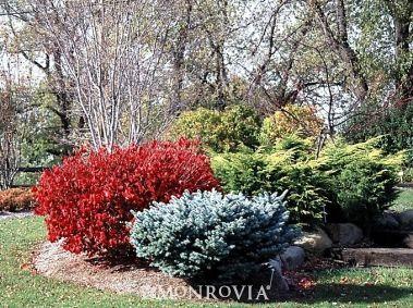 Pipsqueak Burning Bush Euonymus alatus Pipzam Gardening