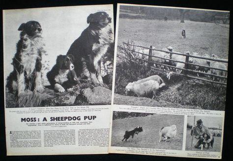 Details Zu Moss The Border Collie Sheepdog Llangedwyn Farm Powys Wales Photo Article 1946 Hunde Collie