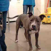 Pet Card American Pitbull Terrier Pitbull Terrier Pitbulls