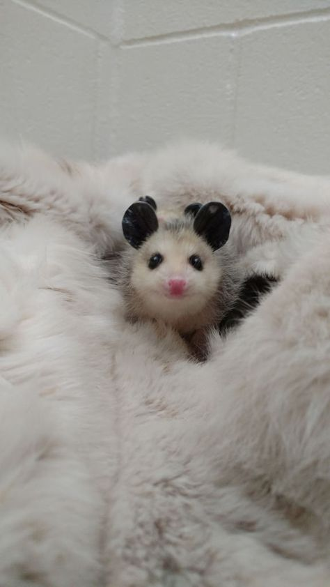 A baby Virginia Opossum curiously peeks out from the safe, warm refuge of a fur fox coat, donated by Born Free USA's Fur for the Animals campaign. His siblings are hiding behind him! PHOTO: The Fund for Animals Wildlife Center