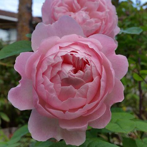 """""""#GentleHermione er kanskje på sitt aller beste nå, i midten av oktober.  #Gentle_Hermione is currently excelling.  #rose #Rosa #rosehage #rosegarden…"""""""