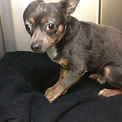 Pictures Of Miki A Chihuahua For Adoption In Oak Ridge Nj Who