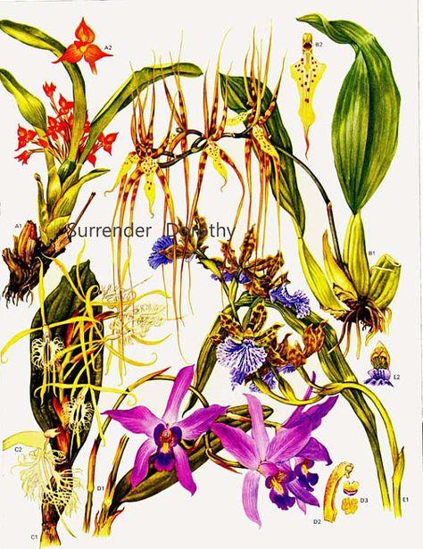 Eyelash Orchid Flor De San Miguel Flowers Central South America Botanical Exotica 1969 Vintage Illustration To Frame 192