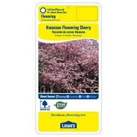 3 25 Gallon Pink Kwanzan Flowering Cherry Flowering Tree In Pot L1023 Lowes Com Flowering Trees Potted Trees Cherry Blooms