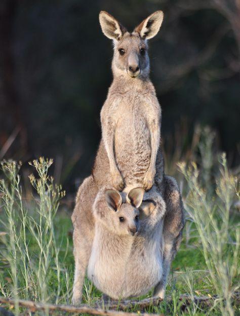 Eastern Grey Kangaroo and Joey - Wildlife, Beautiful & Amazing, Endangered, Flourishing -
