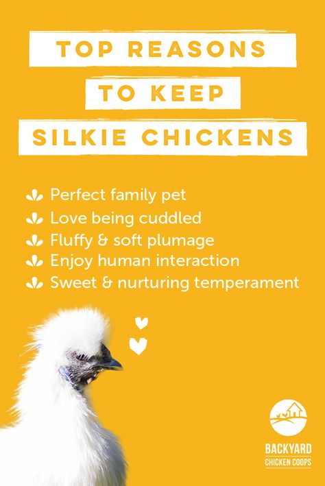 With their many wonderful qualities and soft huggable appearance you really can't help but completely adore Silkie chickens! Here are more reasons to love this chook, http://www.backyardchickencoops.com.au/5-reasons-to-love-silkie-chickens #loveyourchickens #familypets #silkiechickens