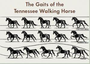 The Aspiring Equestrian: Tennessee Walking Horse