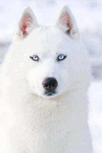 Beyaz Sibirya Husky Alabamarolltide
