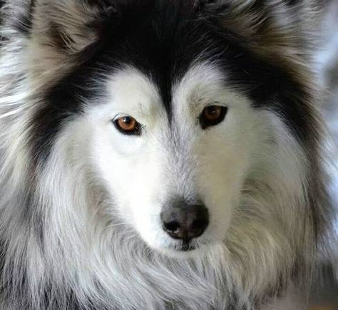 Lost 5 Year Old Female Alaskan Malamute Black And White Lost In