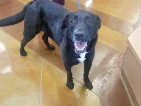 Adopt Luke On Labrador Retriever Dog Labrador Retriever Retriever Dog