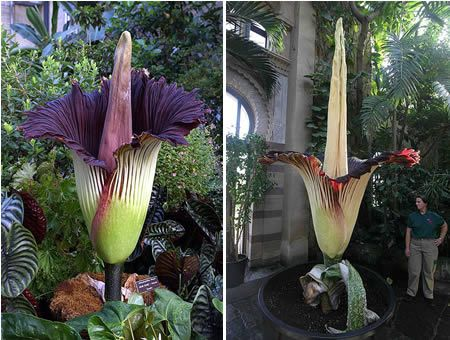A flower taller than a man, stinking strongly of putrefying roadkill and colored deep burgundy to mimic rotting flesh, sounds like something from a low-budget science fiction movie. But Indonesia's titan arum—or