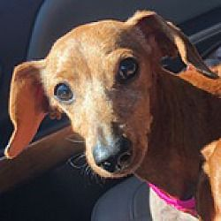 Houston Texas Dachshund Meet Grazia Golden Gate A For Adoption Https Www Adoptapet Com Pet 25524303 Ho Dachshund Adoption Dachshund Rescue Pet Adoption