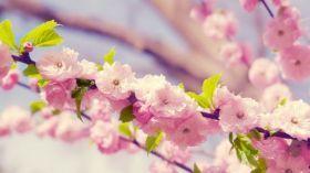Wiosna 242 Kwiaty Drzewo Flower Desktop Wallpaper Spring Flowers Wallpaper Cherry Blossom Wallpaper