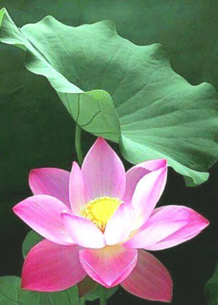 Pink Lotus Nelumbo Family Nelumbonaceae Lotus Flower Art