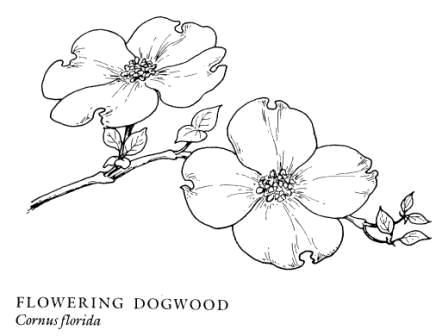 Image Result For Pacific Dogwood Flower Sketch Dogwood Flower