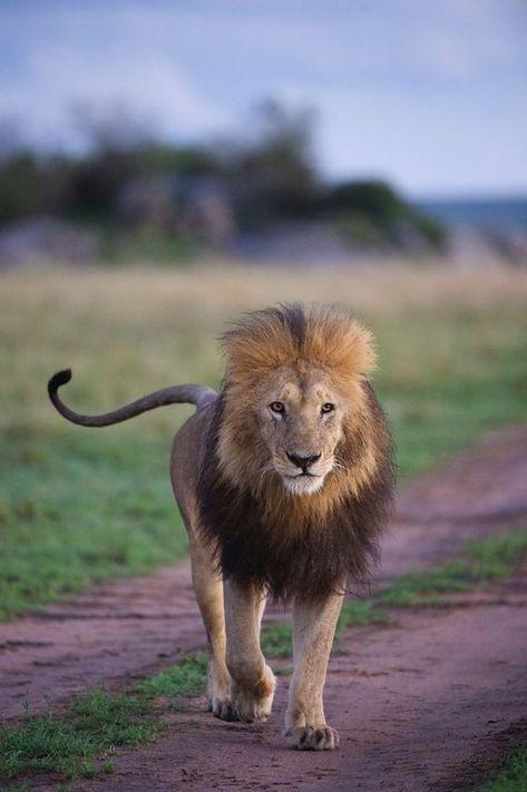 Pin By Alia Maisarah On Binatang Africa Wildlife Lions Photos Wildlife Photos