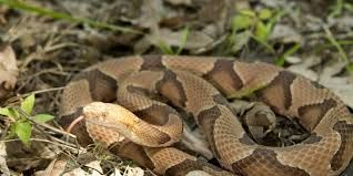 9518365f00eb83a09f8a93b511b74d03 - How To Get Rid Of Copperhead Snakes In Your Yard