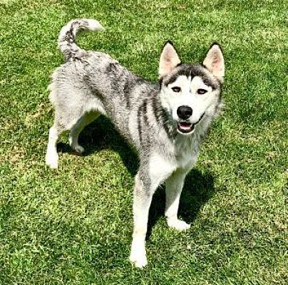 Lathrop Ca Siberian Husky Meet Abbey A Dog For Adoption