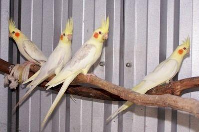 Photo Gallery Prestidge Aviaries Pet Birds Beautiful Birds Cockatiel