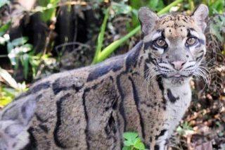 Il Leopardo Di Taiwan Estinto E Stato Avvistato Per La Prima Volta Dopo 36 Anni Greenme Neofelis Nebulosa Leopardo Animali