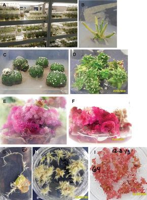 Tissue culture of ornamental cacti | PTC | Plant tissue