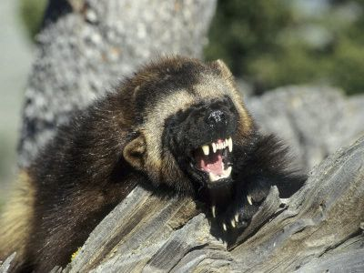 Image result for angry wolverine animal