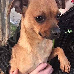 Mesquite Texas Chihuahua Meet Bambi A For Adoption Https