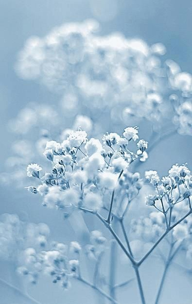 Bokeh Baby's Breath on Blue