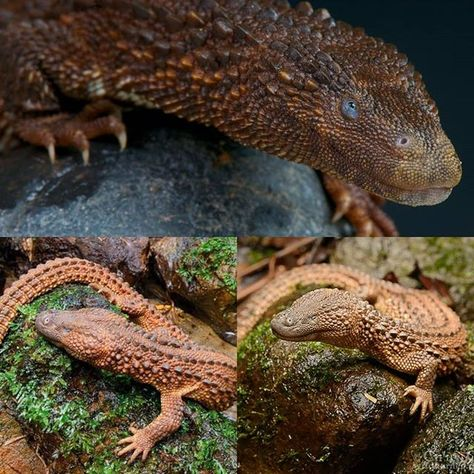 Have you ever seen such an awesome lizard? The earless monitor lizard is one that I wish was available, maybe one day. Little water dragons 🐉  #earlessmonitorlizard #earlessmonitor #monitor #monitors #reptiles #maddexreptiles #beautiful #aesthetic #perfect #dragons #dragon #worldlizardday #lizardday #reptile #pet #pets #petdragon #petdragons