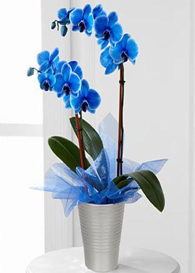 Mavi Orkide 2 Dal Plants Flower Delivery Orchids