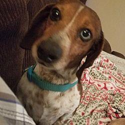 Dallas Texas Dachshund Meet Oliver A For Adoption Https