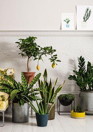 From left: rattlesnake plant in planter (£50 for three, gardentrading.co.uk). Lemon tree in terracotta pot (£28, trianglestore.co.uk) on table (£195, selfridges.com). Aloe vera in petrol pot (£13, frenchconnection.com). Snake plant in pot (£45 for two, rockettstgeorge.co.uk). Turtle vine in Lassen Kubus bowl (from £104, skandium.com). African spear in Les Guimards bowl (£57, darkroomlondon.com). ZZ plant in Malmesbury planter (£120 for three, gardentrading.co.uk).