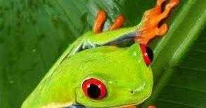 Gambar Katak Merah Kepupusan Hiwan Katak Dimakan Rhacophorus Arboreus Merah Dan Hitam Kodok Merah Atau Leptophryne Cruentata K Menggambar Katak Amfibi Katak