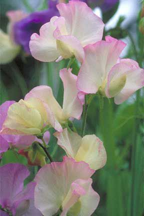 Lathyrus odoratus 'Frolic' Spencer Sweet Pea. My Nana and Grandpa had these, great memory for me thank-you.