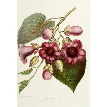 Familiar Indian Flowers 1878 Argyreia Nervosa Canvas Art - Lena Lowis (18 x 24)