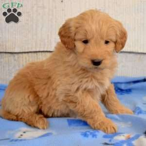 Mini Goldendoodle Puppies For Sale In 2020 Goldendoodle Puppy For Sale Goldendoodle Puppy Mini Goldendoodle Puppies