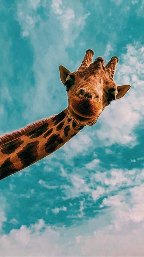 Phone Wallpaper – Giraffe