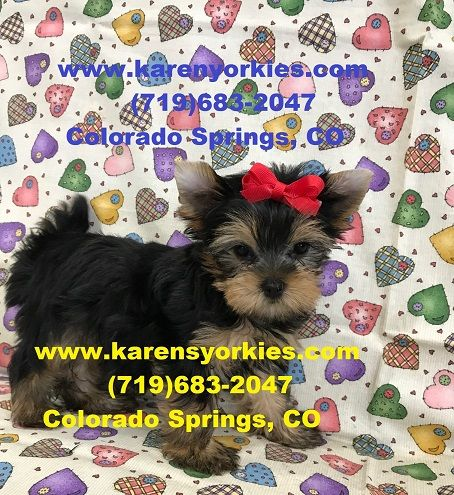 Party Yorkies Parti Yorkies Yorkie Puppies For Sale Yorkies For Sale Yorky Breeder Yorky Puppies Yorks With Images Yorkie Puppy Yorkie Puppy For Sale Yorkshire Terrier