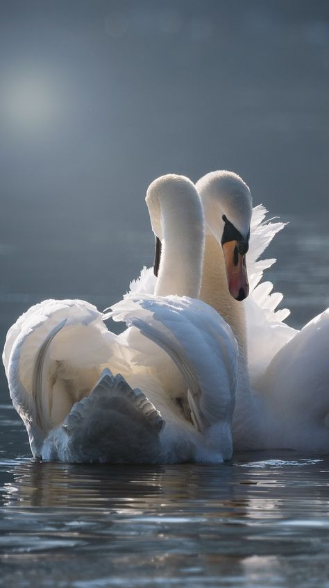 Graceful swan love pair. #Birds #Swan #Love #Pair