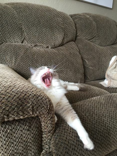 Pictures Of Ragdoll Cats Yawning Why Do Cats Yawn Https Www Floppycats Com Pictures Of Ragdoll Cats Yawning Why Cat Yawning Ragdoll Cat Colors Ragdoll Cat