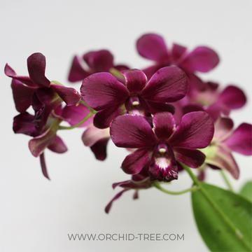 Dendrobium Super Pioneer Dendrobium Orchids Orchids Orchid Plants