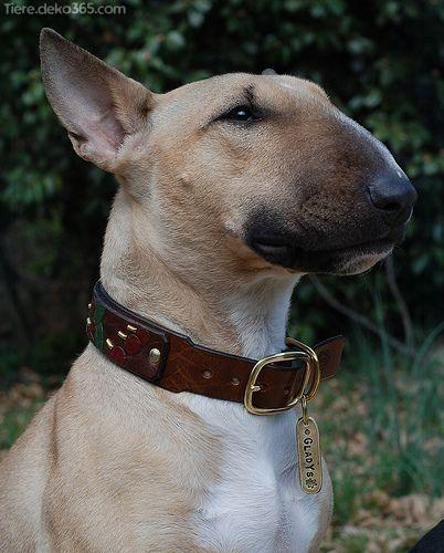 Spektakulär Bilder und Informationen zu Terrier Bull Terrier