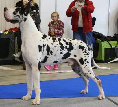 Great Dane Stud Dogs Tr Grand Marshall V Angelhea Dogs Animals