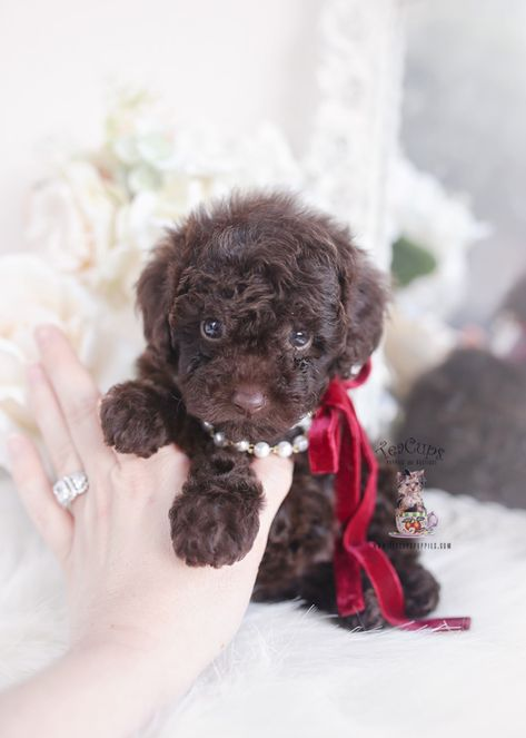 Chocolate Toy Poodle Puppies | Teacup Puppies & Boutique