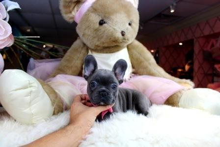 Tiny Miniature French Bulldog Puppies For Sale We Ship Very Safe