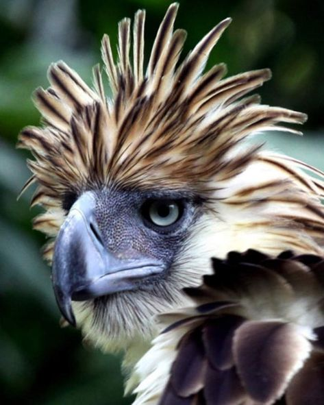 Philippine eagle--just came from the beautician