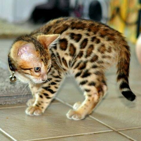 Bengal Cat Cats Bengal Cat Kitten