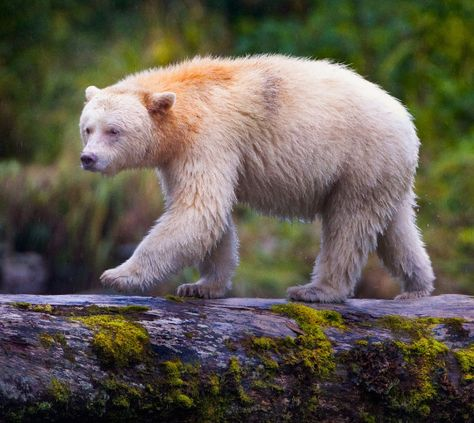 """Kermode """"Spirit"""" Bear by Paul Burwell  Kermode """"Spirit"""" Bear walking along a log over a river in the Great Bear Rainforest in British Columbia, Canada. These bears are not albinos. Rather, they are a black bear that carries a resesive gene that causes about 1 in 10 bears to be born with white instead of black fur. They only live on the west coast of Canada and there are only about 500 of them in existence."""