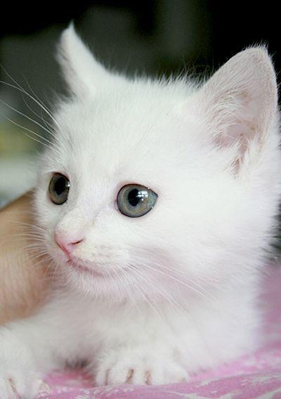 White Kitten Angel Pretty Cats Angora Cats Baby Cats
